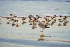 Sea Gull on Seashore in front of Sanderlings Stock Photos