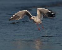 Free Sea Gull Start To Fly Stock Photos - 38327703