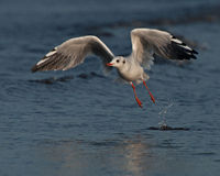 Sea gull start to fly Stock Photos