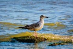 Sea Gull Royalty Free Stock Photography