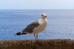 Sea gull on the stone wall. And sea in the background, island Lipari, Italy stock photography