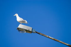 Sea gull on a street lamp Royalty Free Stock Photo