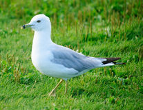 Sea gull in summer Royalty Free Stock Photos