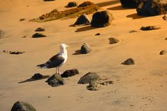 Sea gull at sunset Royalty Free Stock Photo
