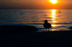 Sea-gull in the sunset Royalty Free Stock Photos