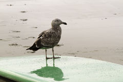 Sea Gull On A Surf Board. Curious sea gull standing on a surf board and watching the waves Stock Images