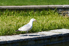 Sea gull swallows a fish catched from a lake Stock Photography