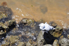 Sea Gull on the Swan River Rocks Stock Photo