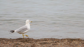 Sea Gull Takes a Stroll on the Beach Stock Image