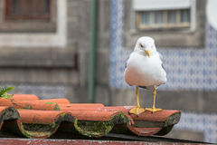 Sea gull on a tiled roof Stock Photo