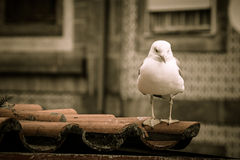 Sea gull on a tiled roof Royalty Free Stock Photo