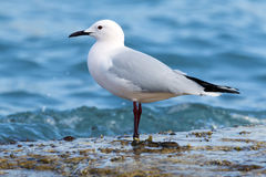 Sea Gull wading on the shore. Stock Photos