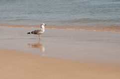 А sea gull walking along an ocean shore Stock Images