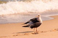 Sea Gull. Walking around the beach in Ft. Lauderdale Florida 2017 Stock Image