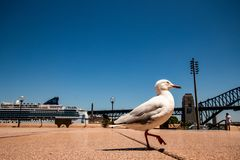 A sea-gull walking on the gangway between the opera house and the harbour bridge in Sydney, Australia.  royalty free stock image