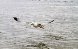 Sea gull. On the water hunting ducks royalty free stock photos