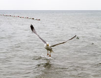 Sea gull. On the water hunting ducks royalty free stock images