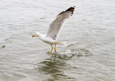 Sea gull. On the water hunting ducks stock images
