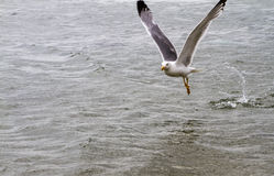 Sea gull on the water. Hunting ducks stock photos