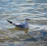 Sea gull in a water Royalty Free Stock Images