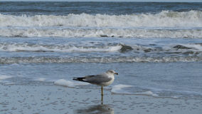 Sea Gull in the Water. Sea Gull standing in the cold winter waters of the ocean Royalty Free Stock Image