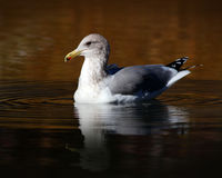 Sea Gull on the Water. Sea Gull swimming in a creek looking for a meal in Tahoe royalty free stock images