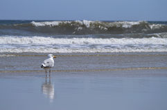 Sea gull and waves Stock Photos