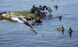The sea gull which flies in the air Royalty Free Stock Photo