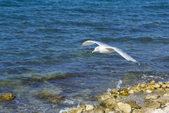 The sea gull which flies in the air Royalty Free Stock Photography