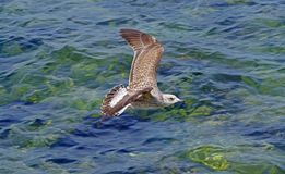 The sea gull Royalty Free Stock Photography