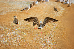 Sea gull wing-spread on sandy beach rear view Royalty Free Stock Photography