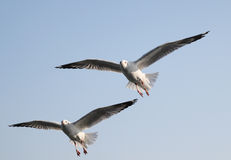 Sea gulls Stock Photos