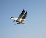 Sea gulls. Catching food beak open Stock Images