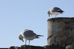 Sea Gulls. Gulls resting at the James River Ferry in Virginia taking a bow Stock Photography
