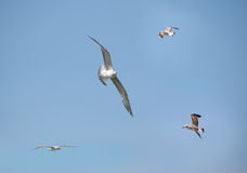 Sea-gulls. A lot of gulls in a blue sky Royalty Free Stock Photos
