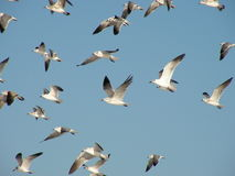 Sea Gulls. Gulls fly in a group over clearwater beach, Florida, USA Royalty Free Stock Photos