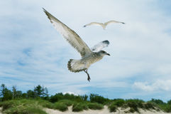 Sea gulls Stock Photography