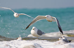 Sea gulls. At water's edge Royalty Free Stock Images