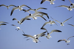 Free Sea Gulls Royalty Free Stock Photo - 41733045