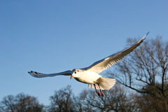 Sea gulls. Sea gull in London park stock photography
