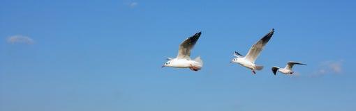 Sea Gulls Stock Photos