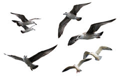 Sea gulls Royalty Free Stock Image