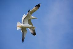 Sea gulls. Two sea guss in the blue sky Stock Image