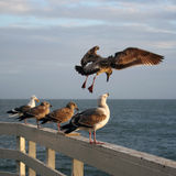 Sea gulls. At the pier Stock Photo