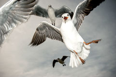 Sea gulls in action. The movement of sea gulls frozen agains dark background Stock Photography