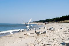 Sea gulls on beach. Some sea gulls on a beach, one of them flying, some people in the background. Clear blue sky. The Baltic Sea stock photography