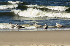 SEA GULLS ON BEACH. Some sea gulls on a beach, one of them flying, some people in the background royalty free stock photo