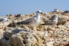 The sea gulls Royalty Free Stock Photos