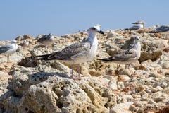 The sea gulls Royalty Free Stock Photos