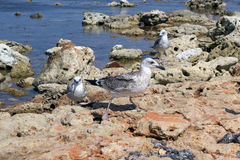The sea gulls Stock Photography